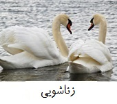 two-lover-swan+